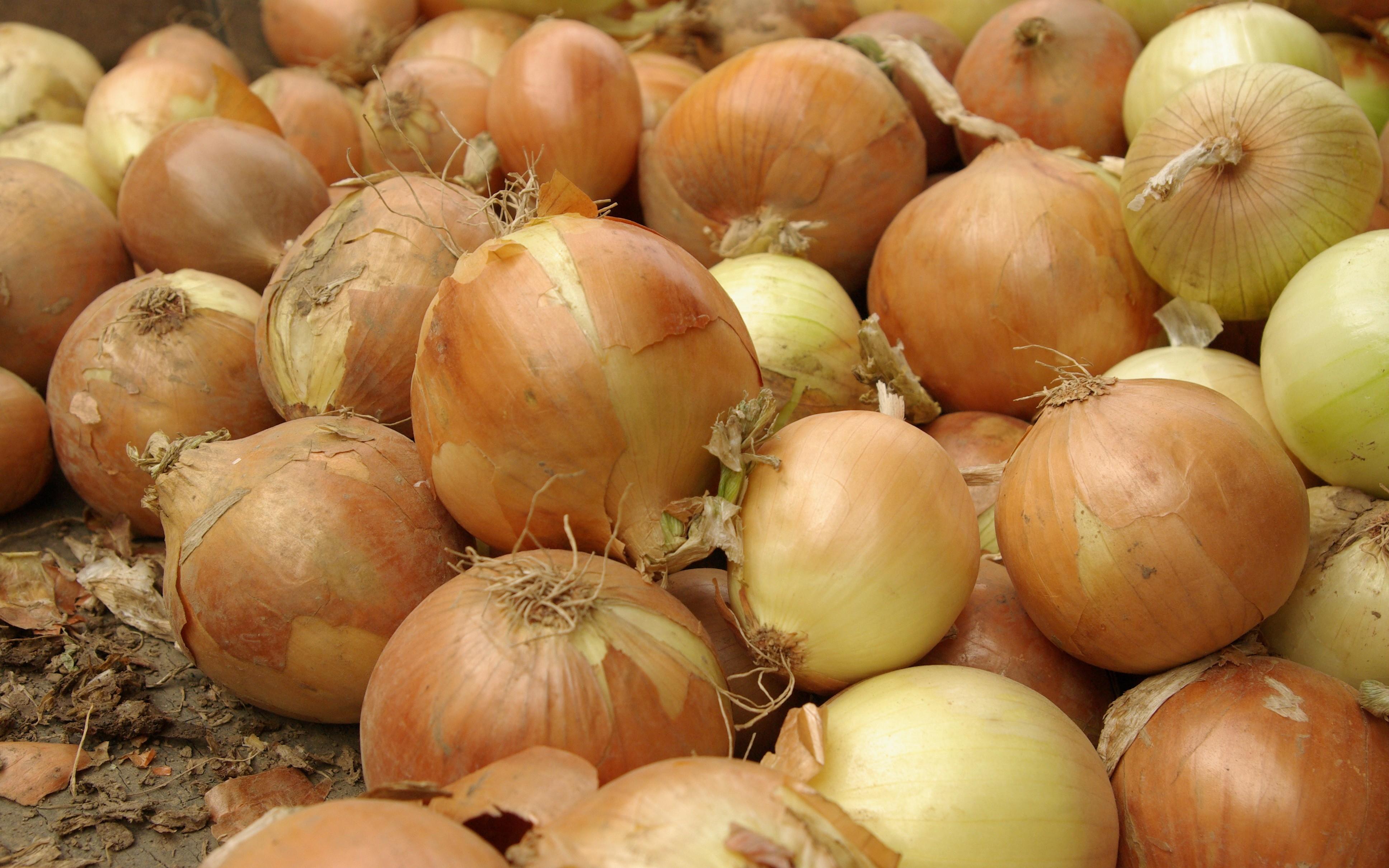 Královnou kuchyně je v Čechách cibule. Ve Všestarech ji pěstují s výjimečnými vl...