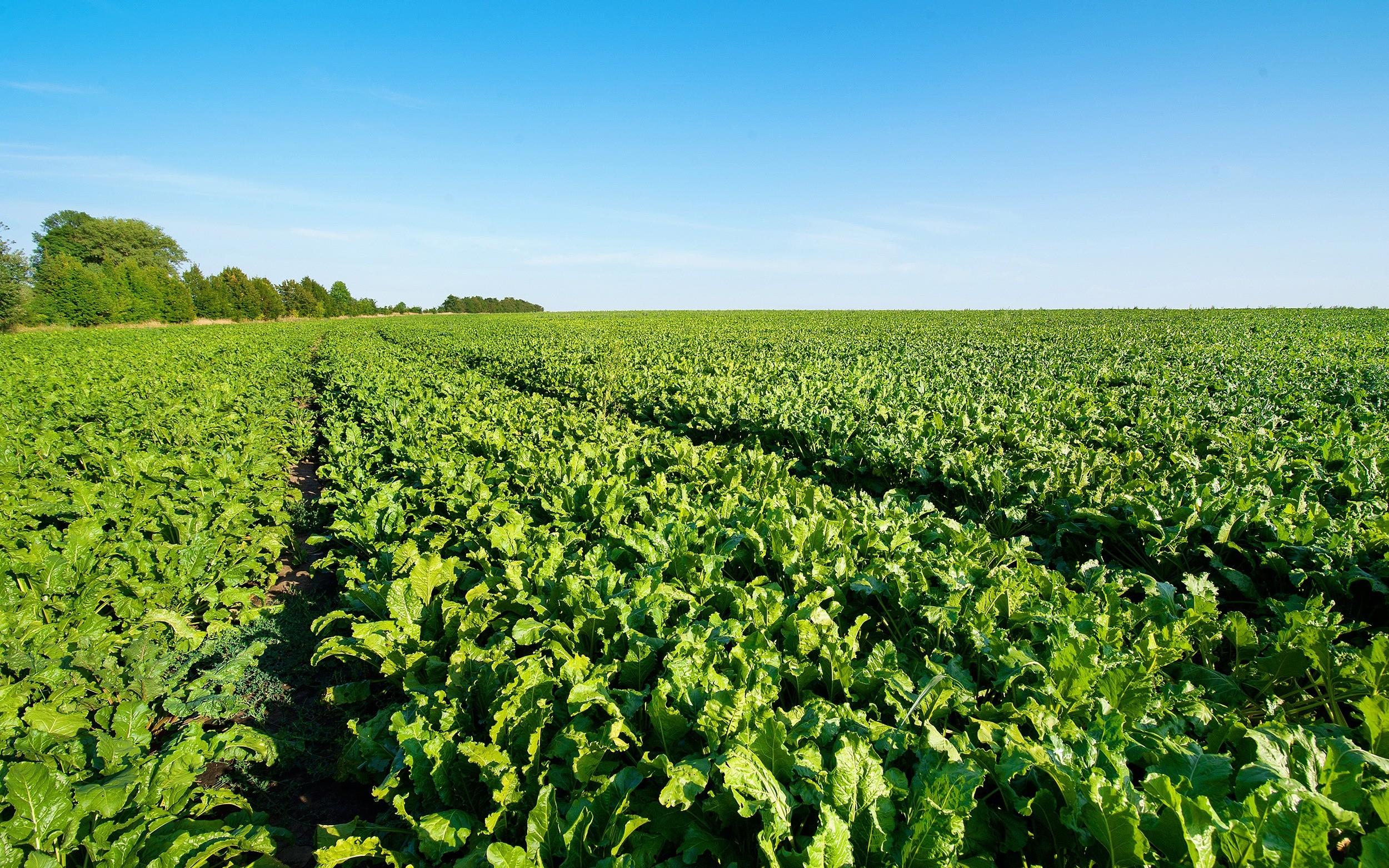 Současná situace pěstitelů cukrové řepy v Evropě